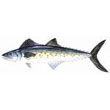 Spanish_mackerel.jpg